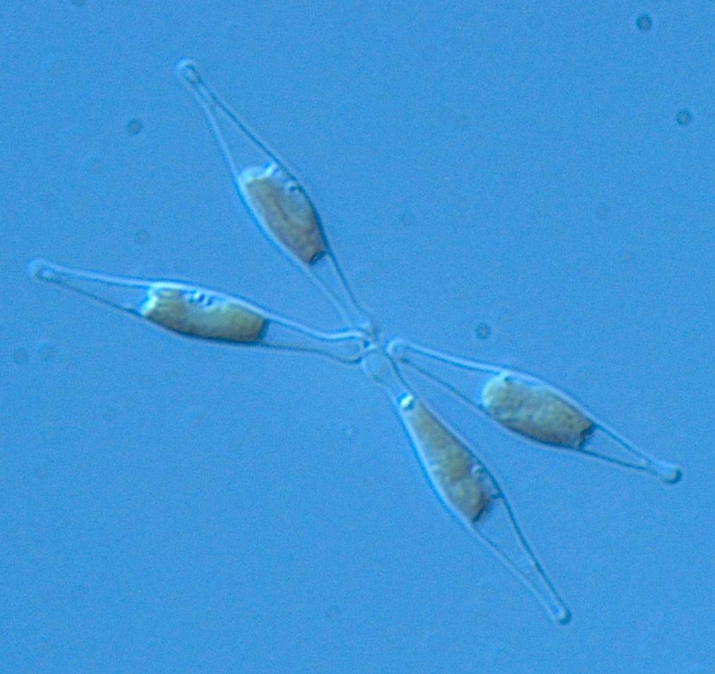 phaeodactylum_tricornutum