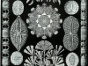 haeckel_diatomea
