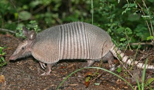 Not the Runny Nosed Armadillo