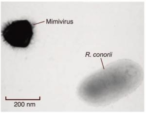 Mimivirus and Ricketsiaa conorii (a bacterium)