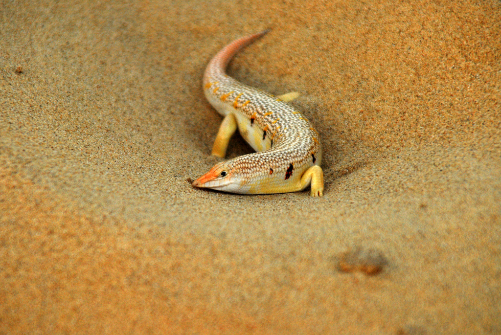 Sandfish. Credit thew...g  from Flickr