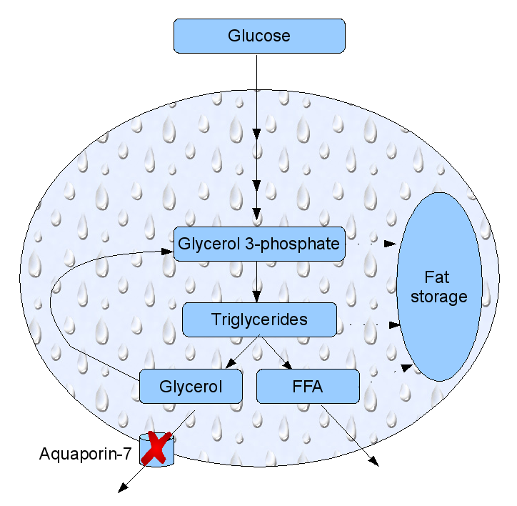 Fat cell metabolism. Glucose may end up as glycerol. If aquaporin-7 is not expressed, excess glycerol get stored as fat. FFA: free fatty acids. After Gema Frühbeck  Nature 438, 436-437 (24 November 2005)