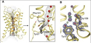 A: General view of the view of the yeast aquaporin, wiht the single-molecule-wide water channel in the middle; B: a close up showing the constriction near the end of the channel, and the gating mechanism. doi:10.1371/journal.pbio.1000130.g002