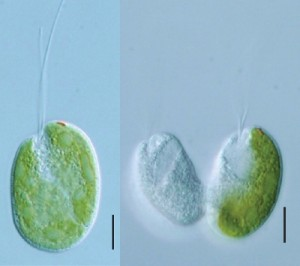 Right: Hatena with chloroplast, and without. Left: the red bit on the top of the cell marks the eyespot.