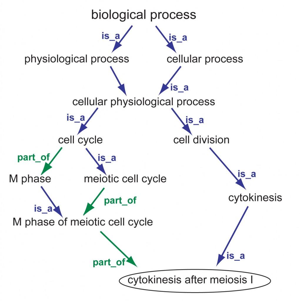 cytokinesisDAGrels