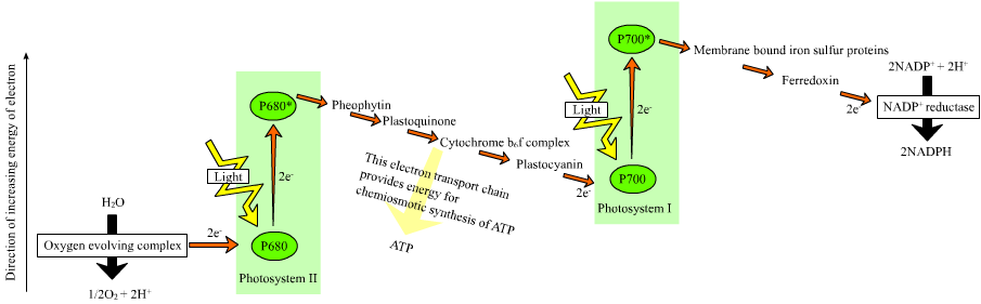 Electron transport from PSII to PSI via plastocyanin
